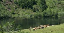 Vaches au bord de l'étang de Lers