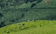 Vaches et parapente